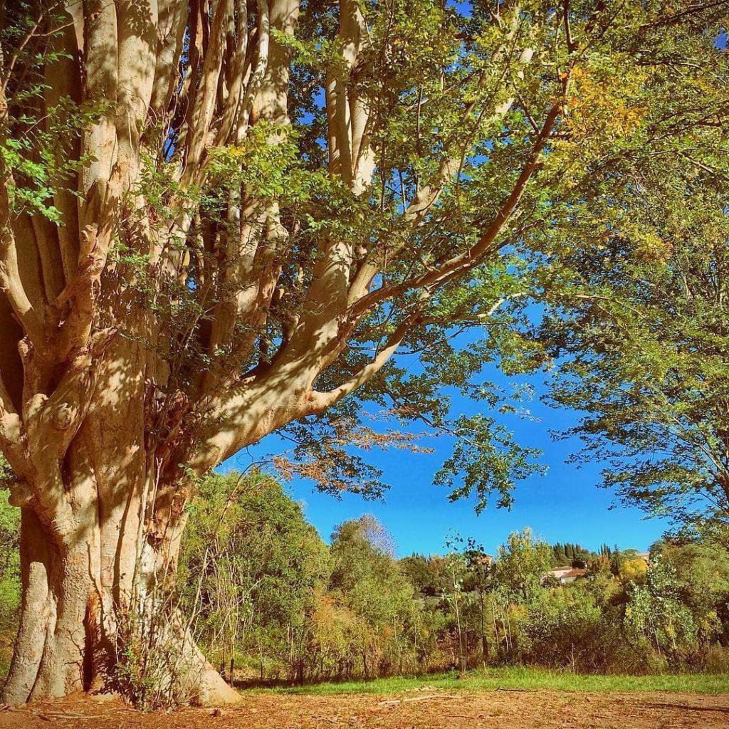 nature-moussoulens-zelkova-arbre-remarquable