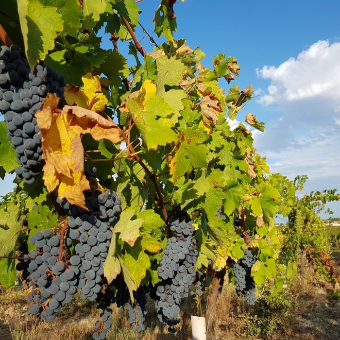 vin-oenotourisme-languedoc-carcassonne