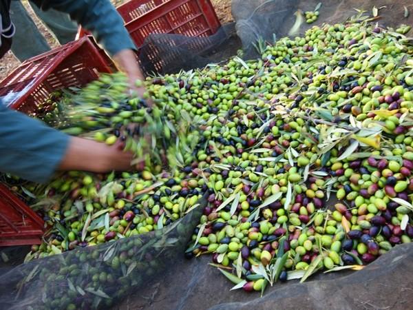 producteurs-locaux-carcassonne-olive-trebes